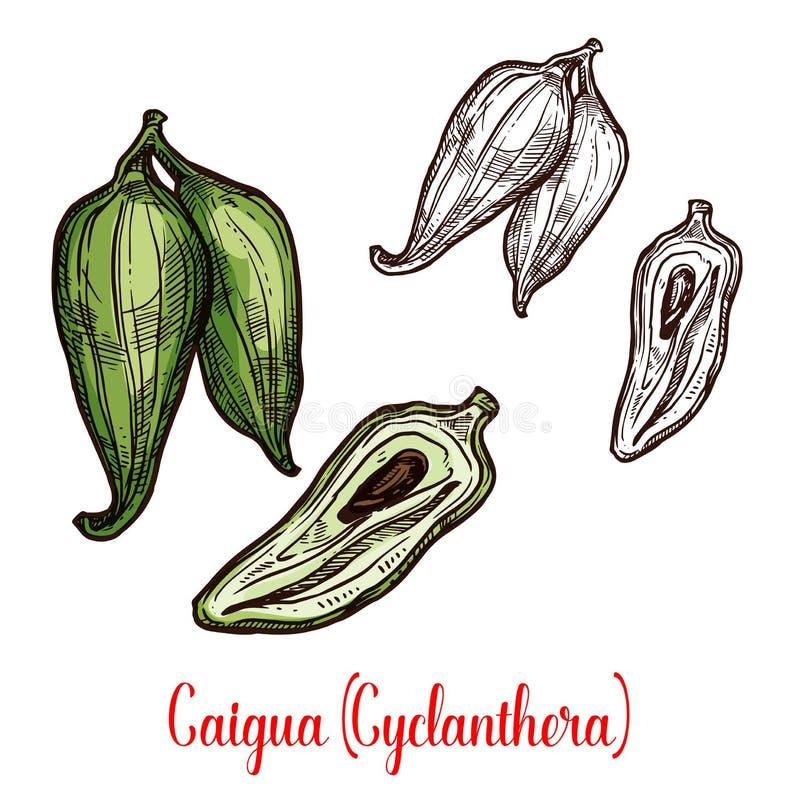 Esboço do vegetal ou do fruto do pedata de Cyclanthera ilustração royalty free