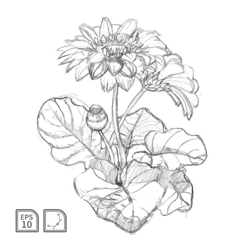 Esboço do vetor da flor do gerbera ilustração stock