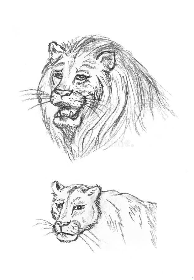 Esboço dos leões, desenho do lápis da mão ilustração stock