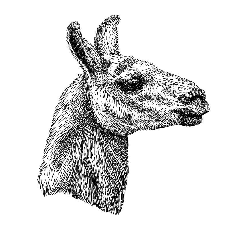 Esboço drawnealistic da mão da alpaca da Lama, desenho preto e branco, isolado no branco Ilustração do vetor Estilo do vintage ilustração royalty free