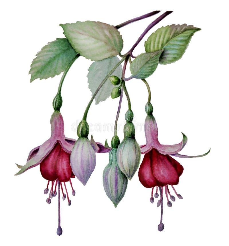 Esboço fúcsia da flor da aquarela ilustração royalty free
