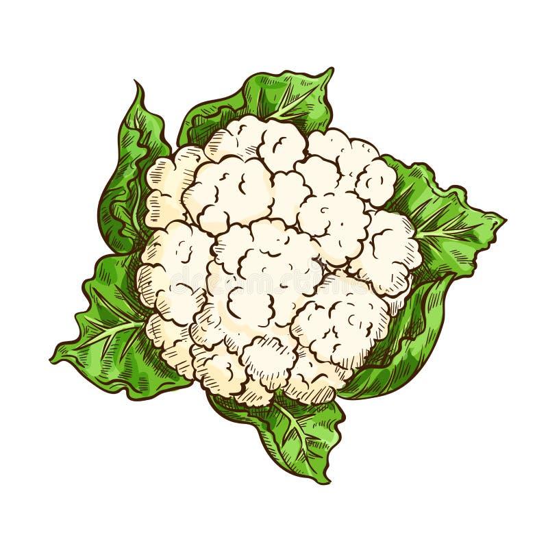 Esboço isolado vegetal da couve da couve-flor ilustração stock