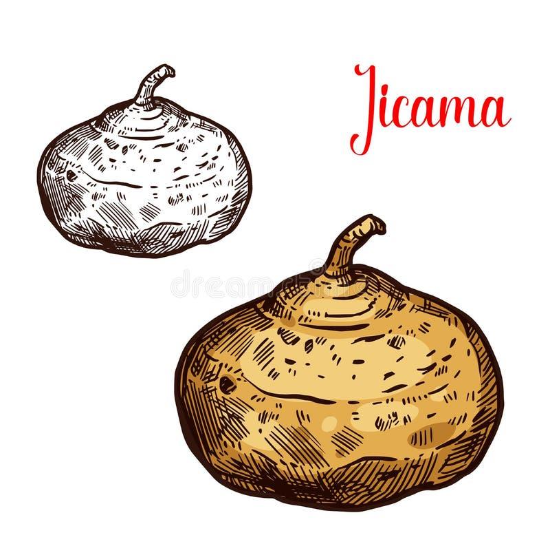Esboço mexicano do vetor do tunip de Jicama ilustração do vetor