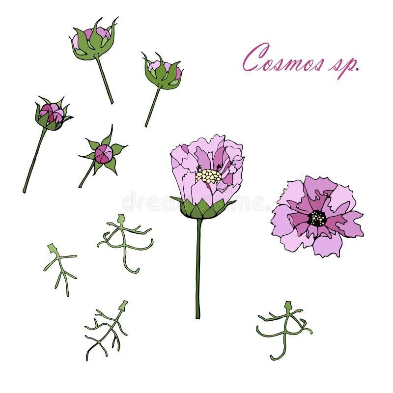 Esboço monocromático tirado mão do cosmos, flores coloridas do cosmos do rosa, folhas verdes dos ângulos diferentes ilustração royalty free