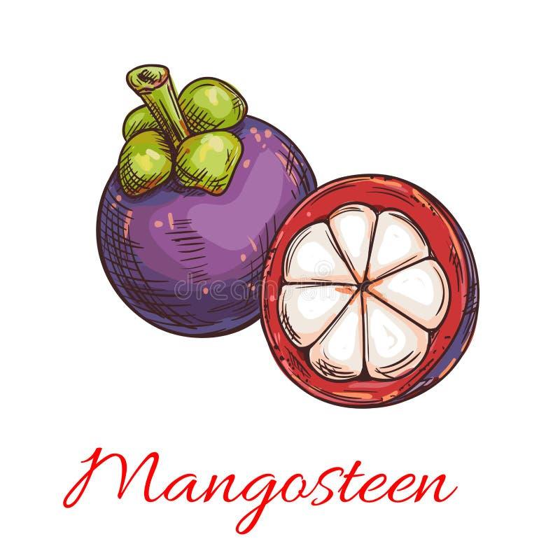Esboço roxo tropical do fruto do mangustão ilustração royalty free