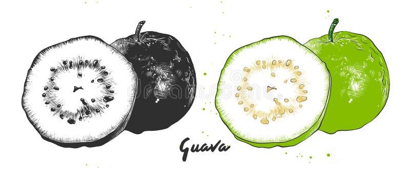 Esboço tirado mão da goiaba em monocromático e em colorido Desenho detalhado do alimento do vegetariano ilustração do vetor