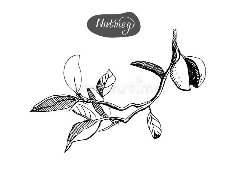 Esboço tirado mão das nozes-moscadas A especiaria e o condimento vector a ilustração isolada no fundo branco ilustração stock