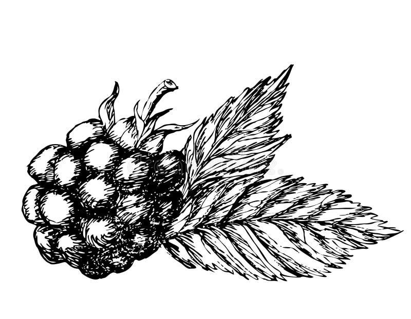 Esboço tirado mão de Blackberry ilustração royalty free