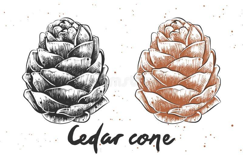 Esboço tirado mão do cone do cedro em monocromático e em colorido Desenho detalhado do alimento do vegetariano ilustração stock