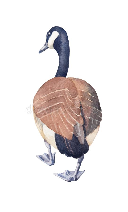 Esboço tirado mão do ganso de Canadá em um fundo branco ilustração stock