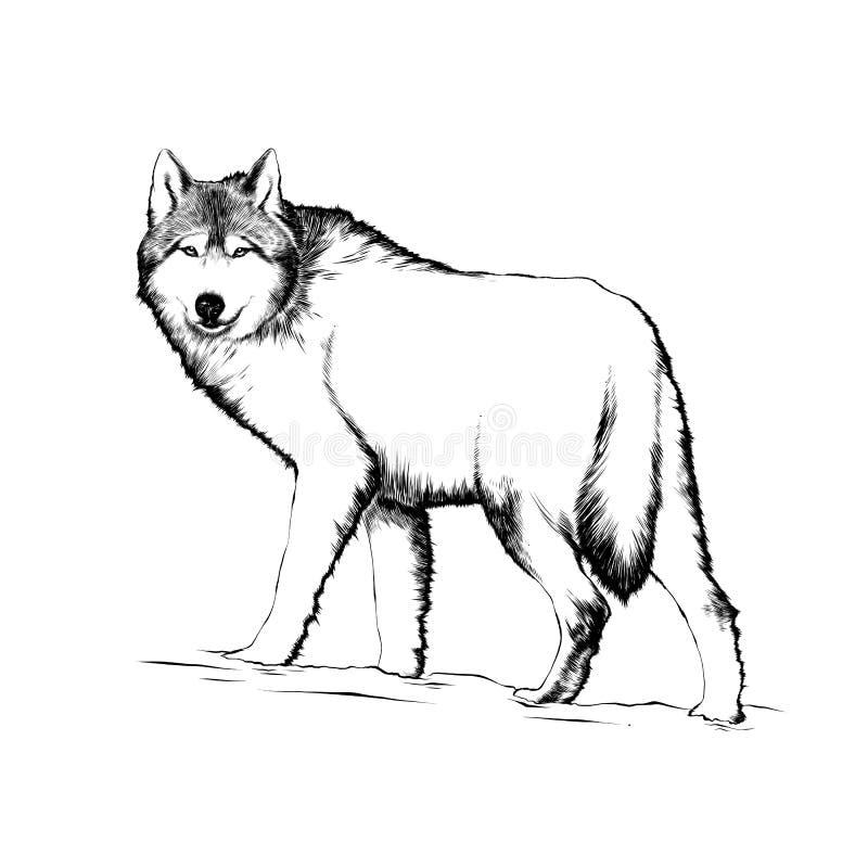 Esboço tirado mão do lobo no preto isolado no fundo branco Desenho detalhado do estilo gravura a água-forte do vintage ilustração royalty free