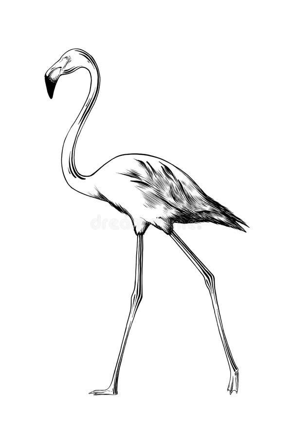 Esboço tirado mão do pássaro do flamingo no preto isolado no fundo branco Desenho detalhado do estilo gravura a água-forte do vin ilustração do vetor