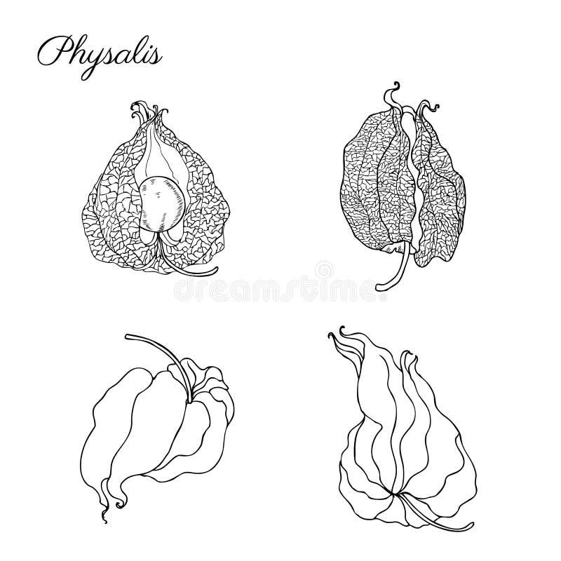 Esboço tirado mão do vetor do Physalis isolado no grupo decorativo da baga gráfica branca do fundo, alimento saudável orgânico ilustração stock