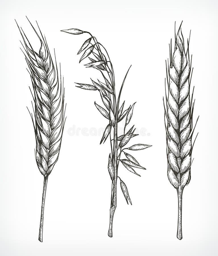 Esboços das colheitas, do trigo e da aveia ilustração royalty free