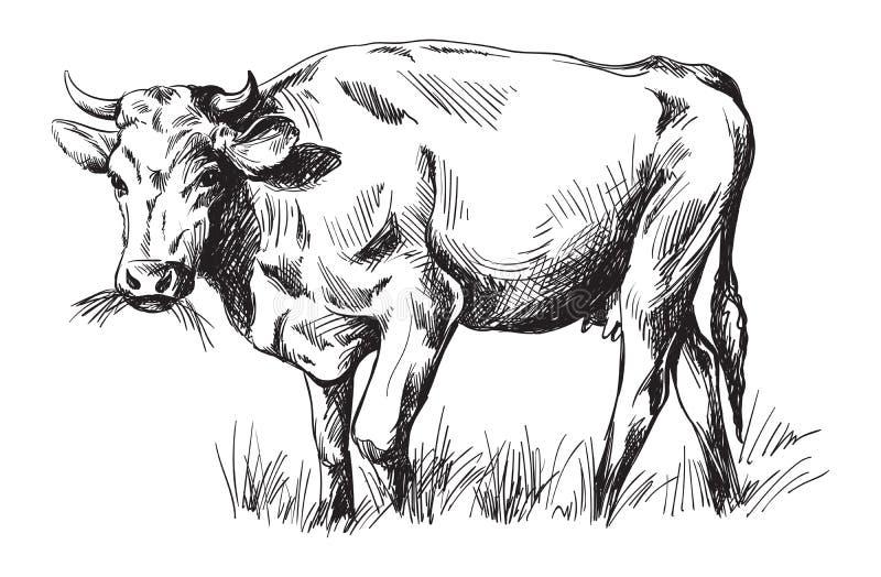 Esboços das vacas tiradas à mão ilustração stock