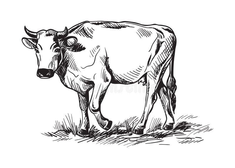 Esboços das vacas tiradas à mão ilustração royalty free
