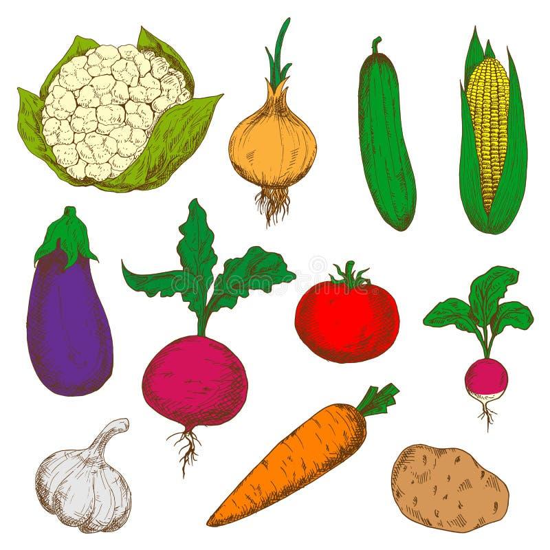 Esboços maduros dos vegetais da cor ajustados ilustração do vetor