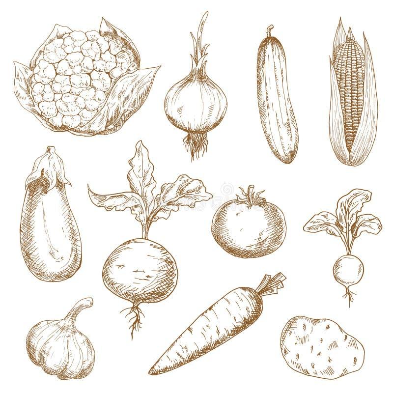 Esboços tirados mão dos legumes frescos ilustração stock