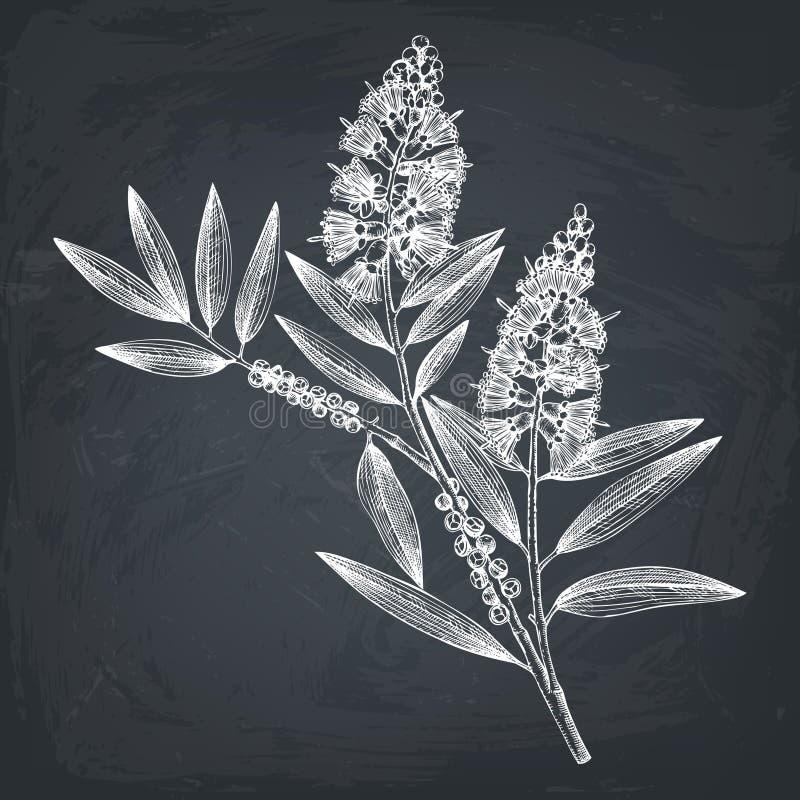 Esboços verde-oliva tirados mão do chá da árvore do chá no fundo branco Cosméticos e planta médica da murta Dr. botânico da árvor ilustração stock
