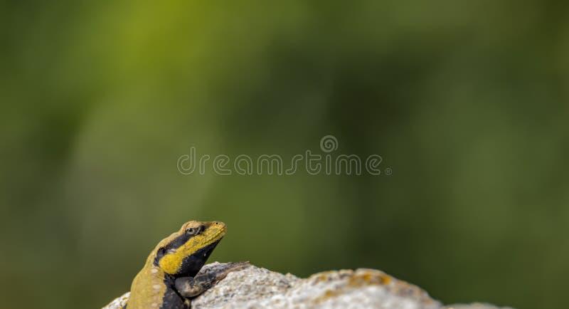 Escabúllase adentro: Agama peninsular de la roca imagenes de archivo