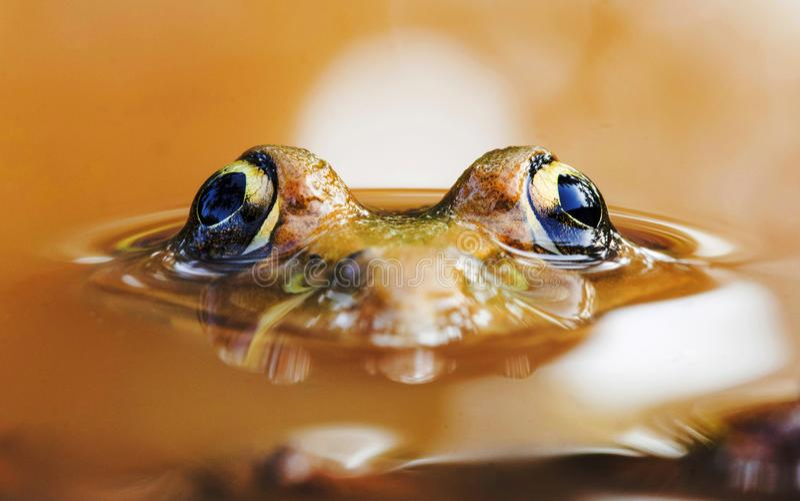 Escabullirse dando saltitos la rana, los cyanophlyctis o la rana india del capitán, puttr de Mogral, Kasargoad, Kerala, la India  foto de archivo