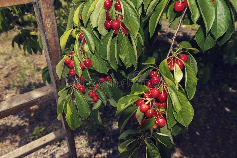 Escada e ramos de madeira com grupos de cerejas brancas maduras e em um pomar fotos de stock