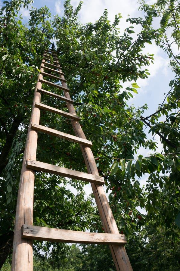 Escada na árvore de cereja imagens de stock