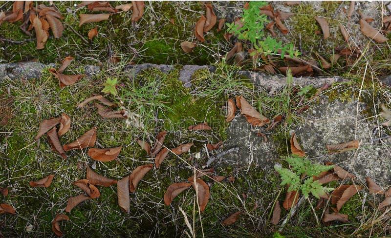 Escadas de pedra velhas cobertas com o musgo e a grama com as folhas caídas secas imagem de stock royalty free