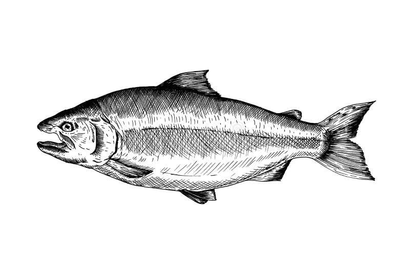 Escala cinzenta tirada mão dos peixes salmon ilustração stock