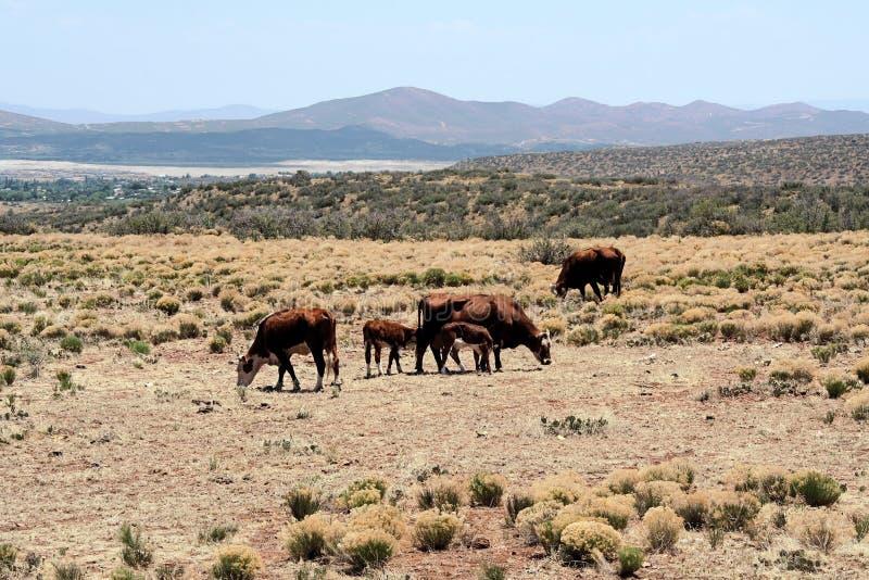 Escala de gado ocidental imagens de stock royalty free