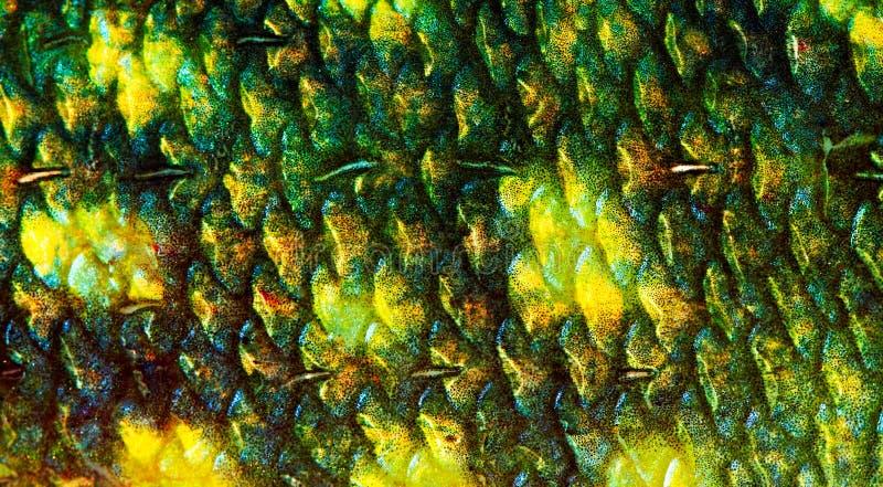 Escala de pescados fotografía de archivo