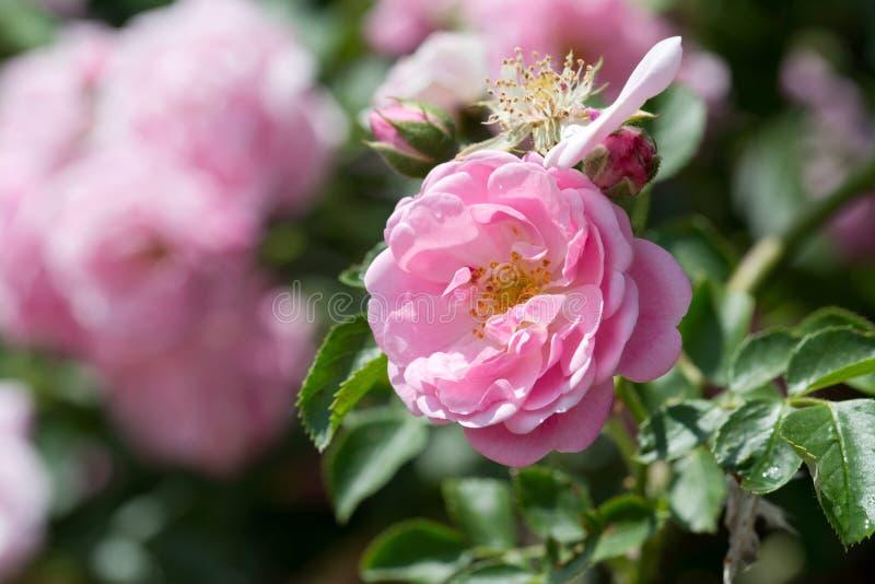 A escalada cor-de-rosa aumentou foto de stock