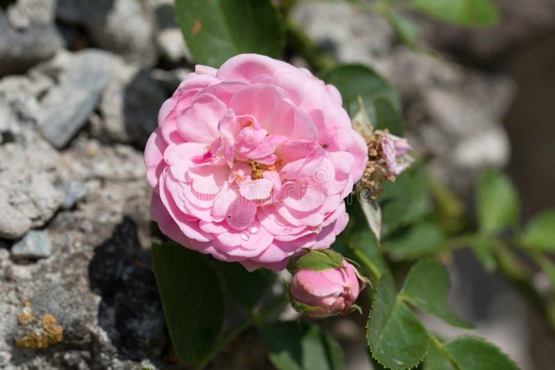 A escalada cor-de-rosa aumentou fotografia de stock royalty free