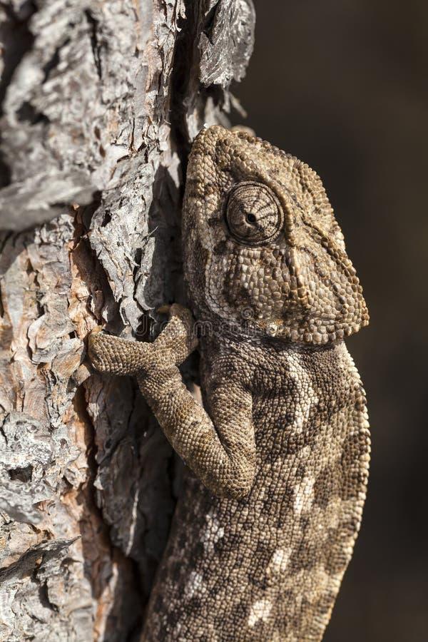 Download Escalada do Chameleon imagem de stock. Imagem de cabeça - 26514933