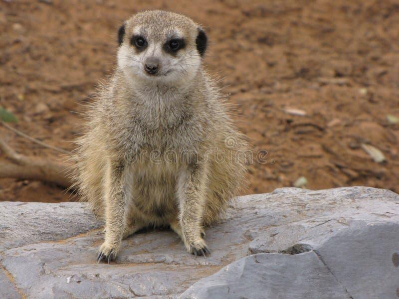 Escalade de Meerkats images stock