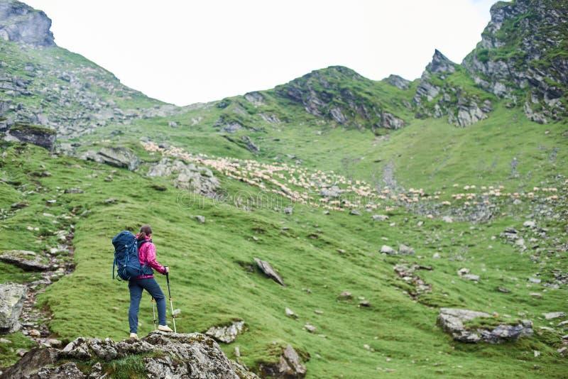 Escalador femenino joven que admira la belleza de montañas rocosas y de ovejas verdes de los prados y el caminar foto de archivo libre de regalías