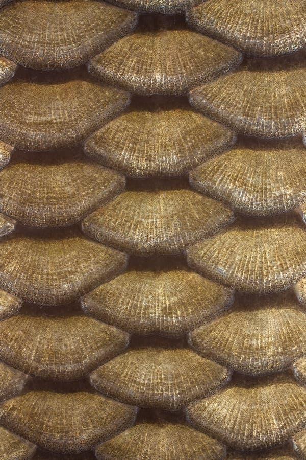 Escalas De La Carpa Imagen de archivo libre de regalías