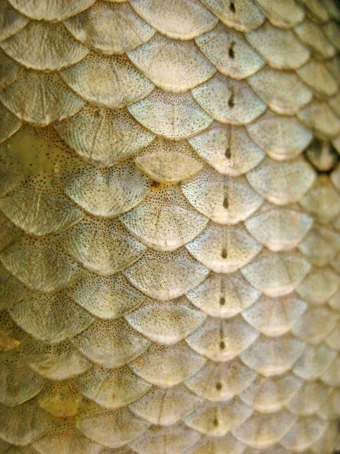 Escalas de pescados foto de archivo libre de regalías