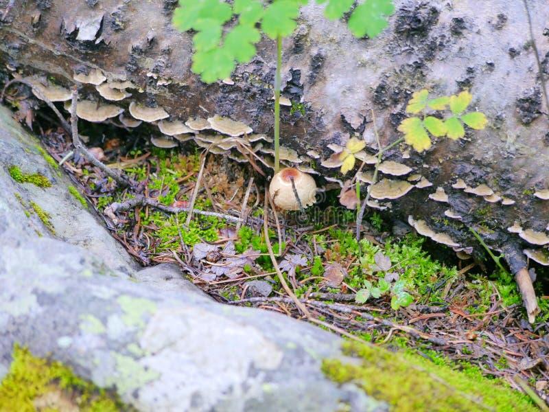 Escaliers de champignon sur le rondin photographie stock