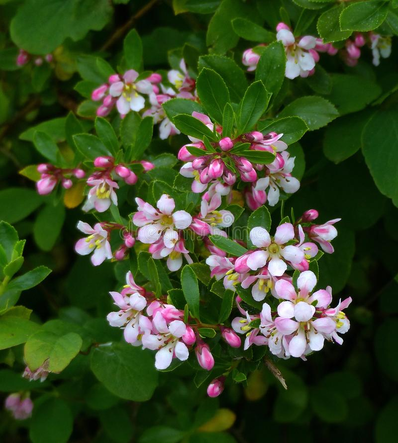 Free Escallonia Blossoms, Pink Stock Images - 151634604