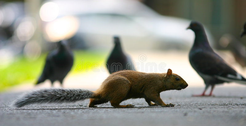 Escape. Squirrel in stealth mode to escape the pigeons royalty free stock image