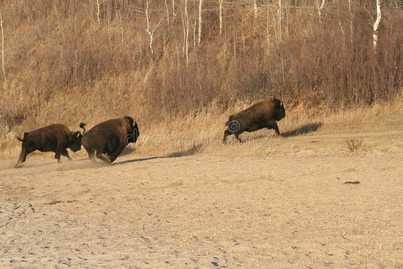 Download Escape Of The American Bisons Stock Image - Image: 6953563