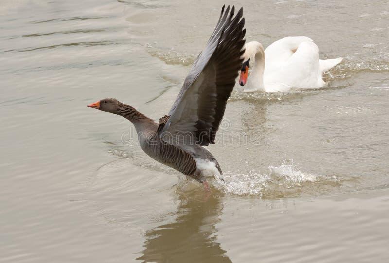 Escape do ganso de pato bravo europeu foto de stock