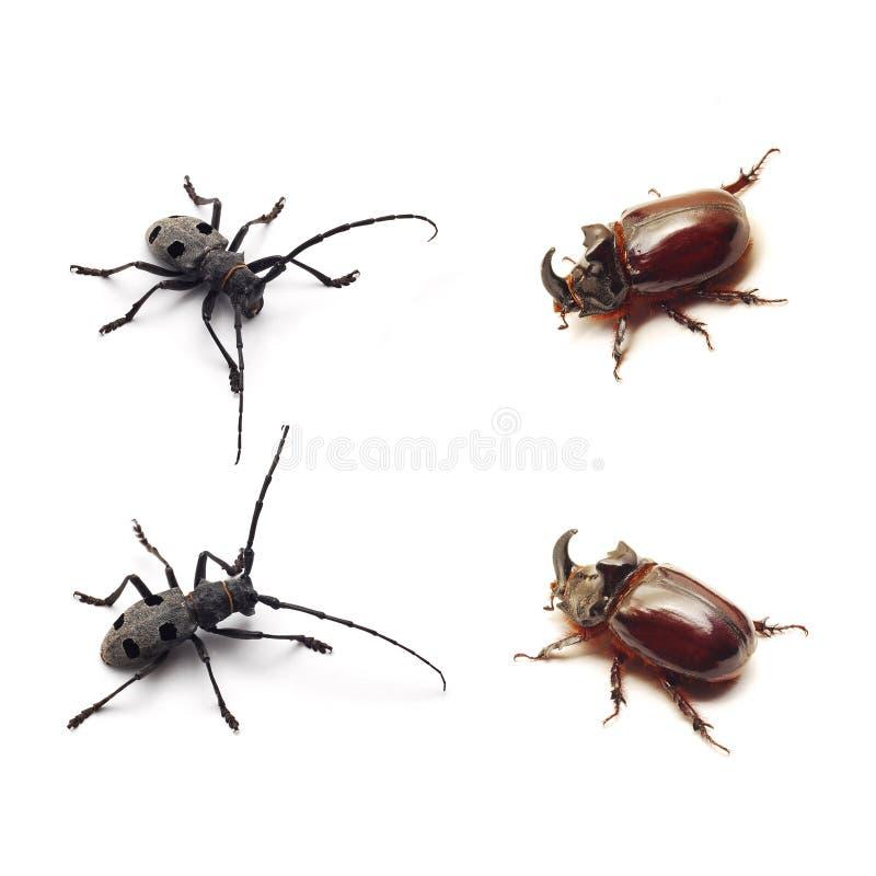 Escarabajo fotos de archivo libres de regalías
