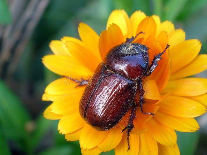 escarabajo 库存照片
