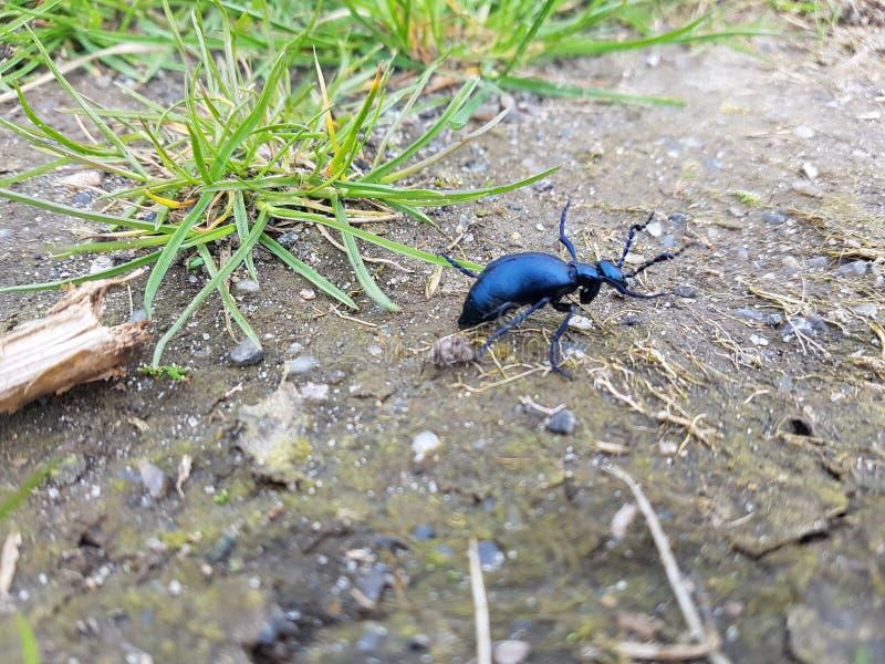 escarabajo imágenes de archivo libres de regalías