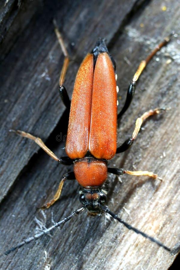 Escarabajo anaranjado imágenes de archivo libres de regalías