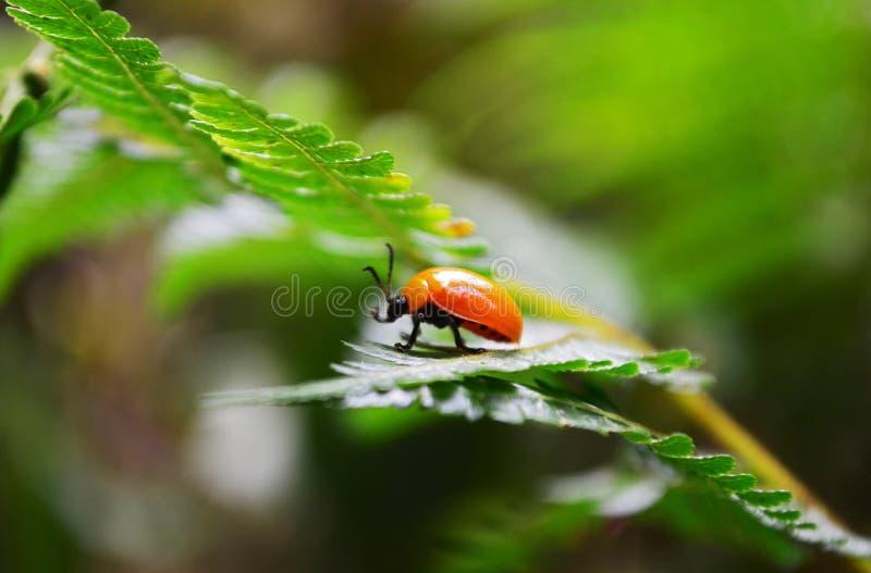 Escarabajo anaranjado imagenes de archivo