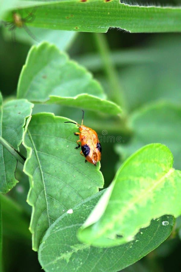 Escarabajo anaranjado del ala en la hoja verde foto de archivo