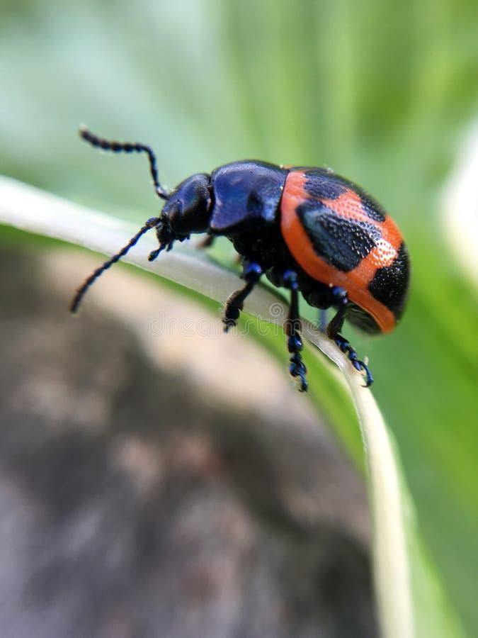Escarabajo anaranjado y negro del Milkweed en una hoja verde imagen de archivo